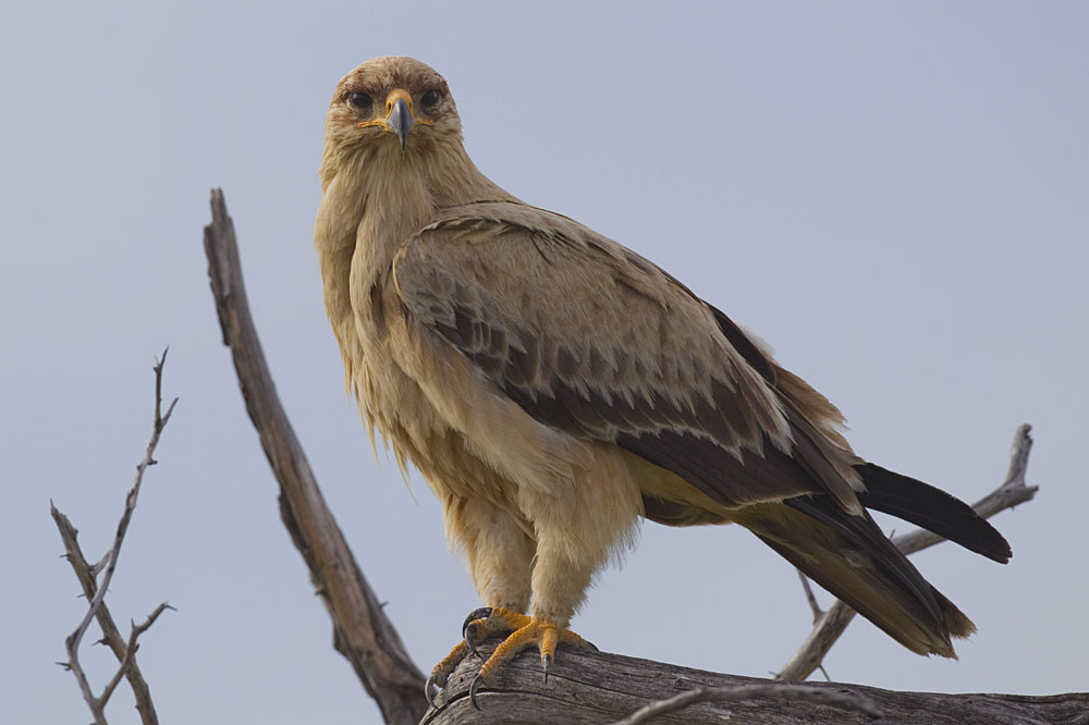 Tawny Eagle clipart #3, Download drawings