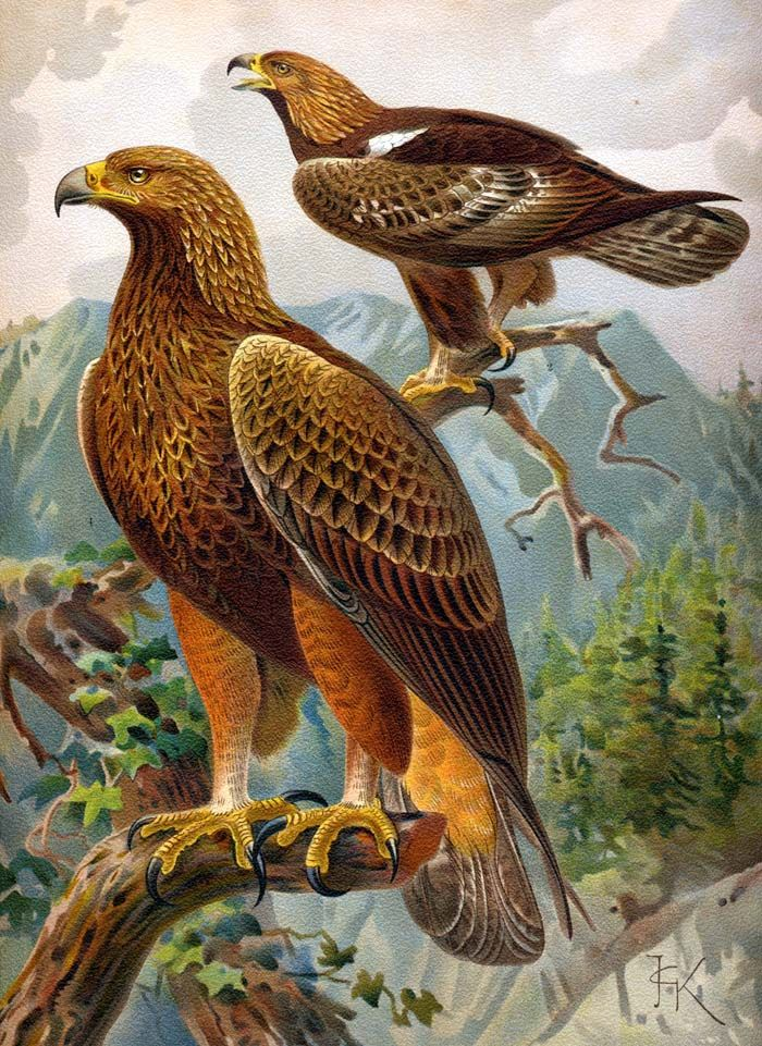 Tawny Eagle clipart #4, Download drawings