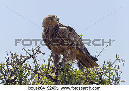 Tawny Eagle clipart #18, Download drawings