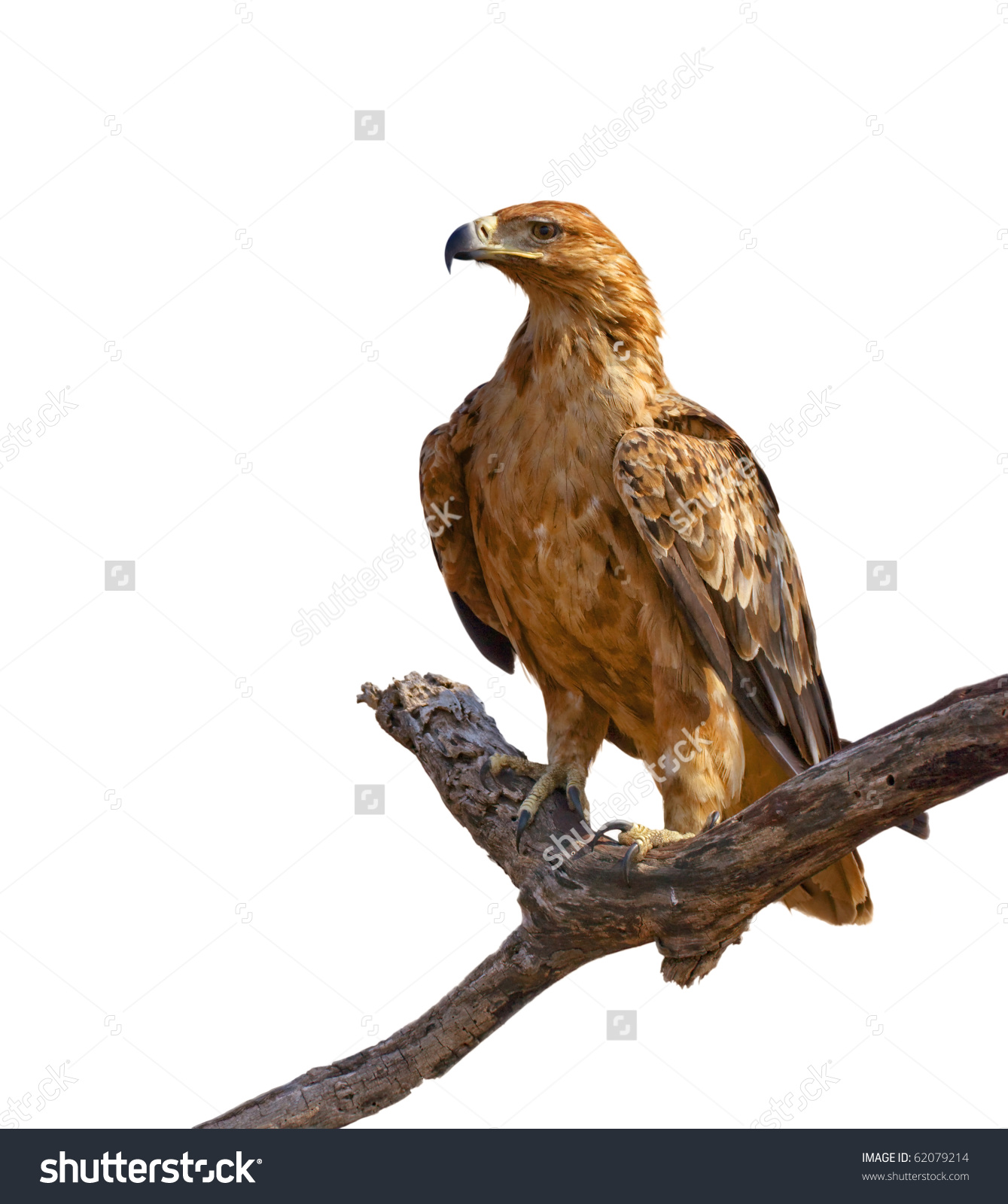 Tawny Eagle clipart #13, Download drawings