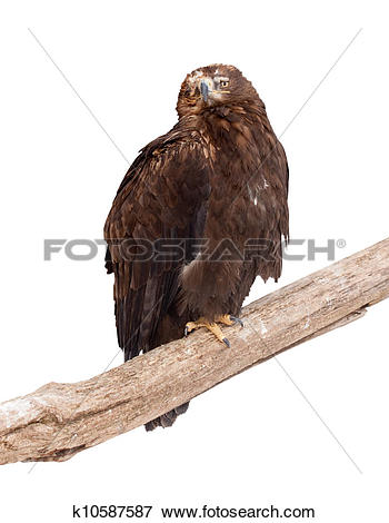 Tawny Eagle clipart #7, Download drawings