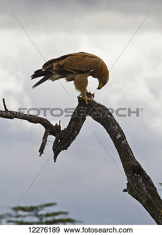 Tawny Eagle clipart #15, Download drawings