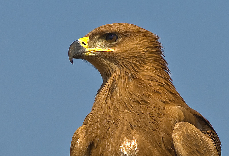 Tawny Eagle svg #19, Download drawings