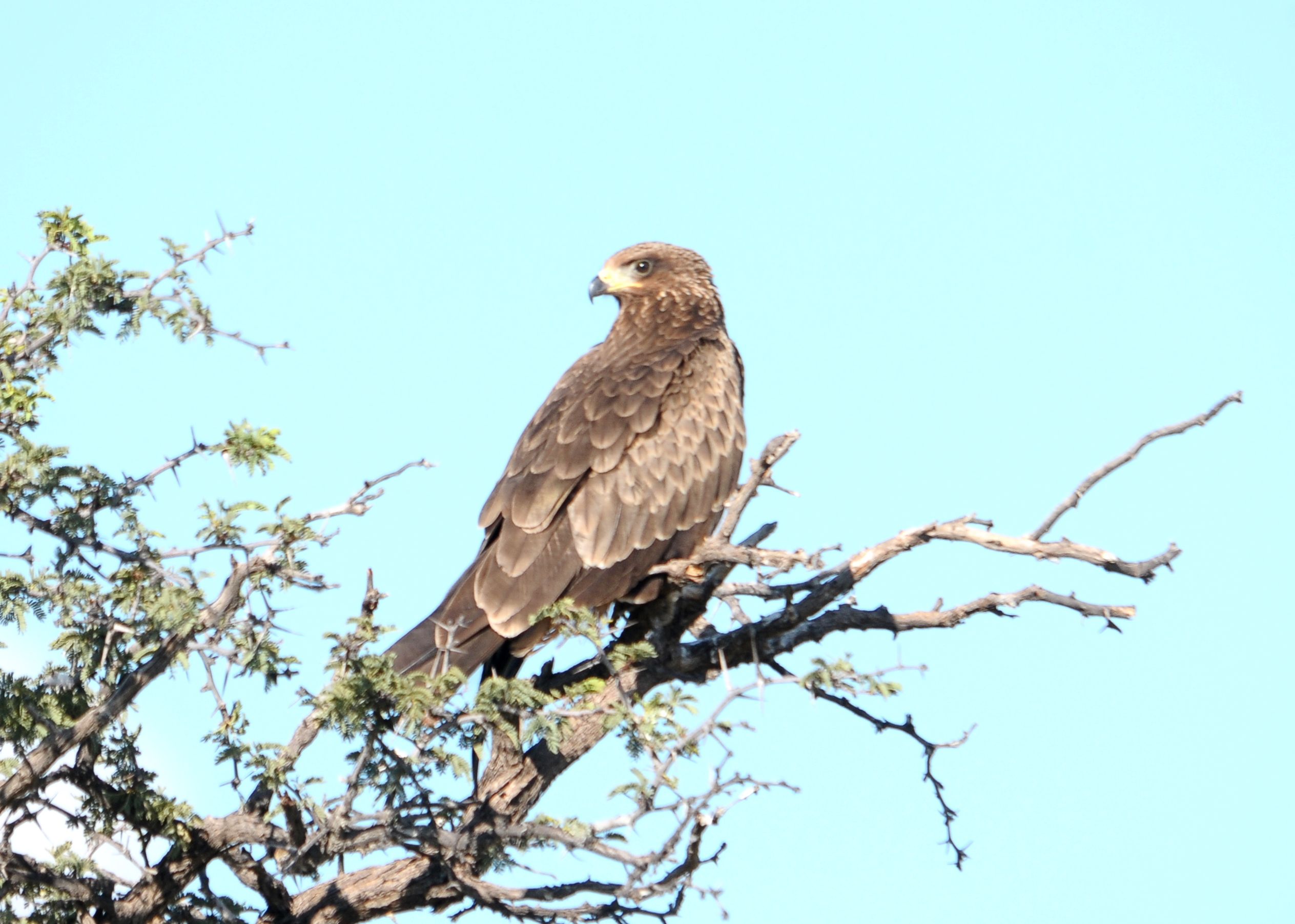 Tawny Eagle svg #18, Download drawings