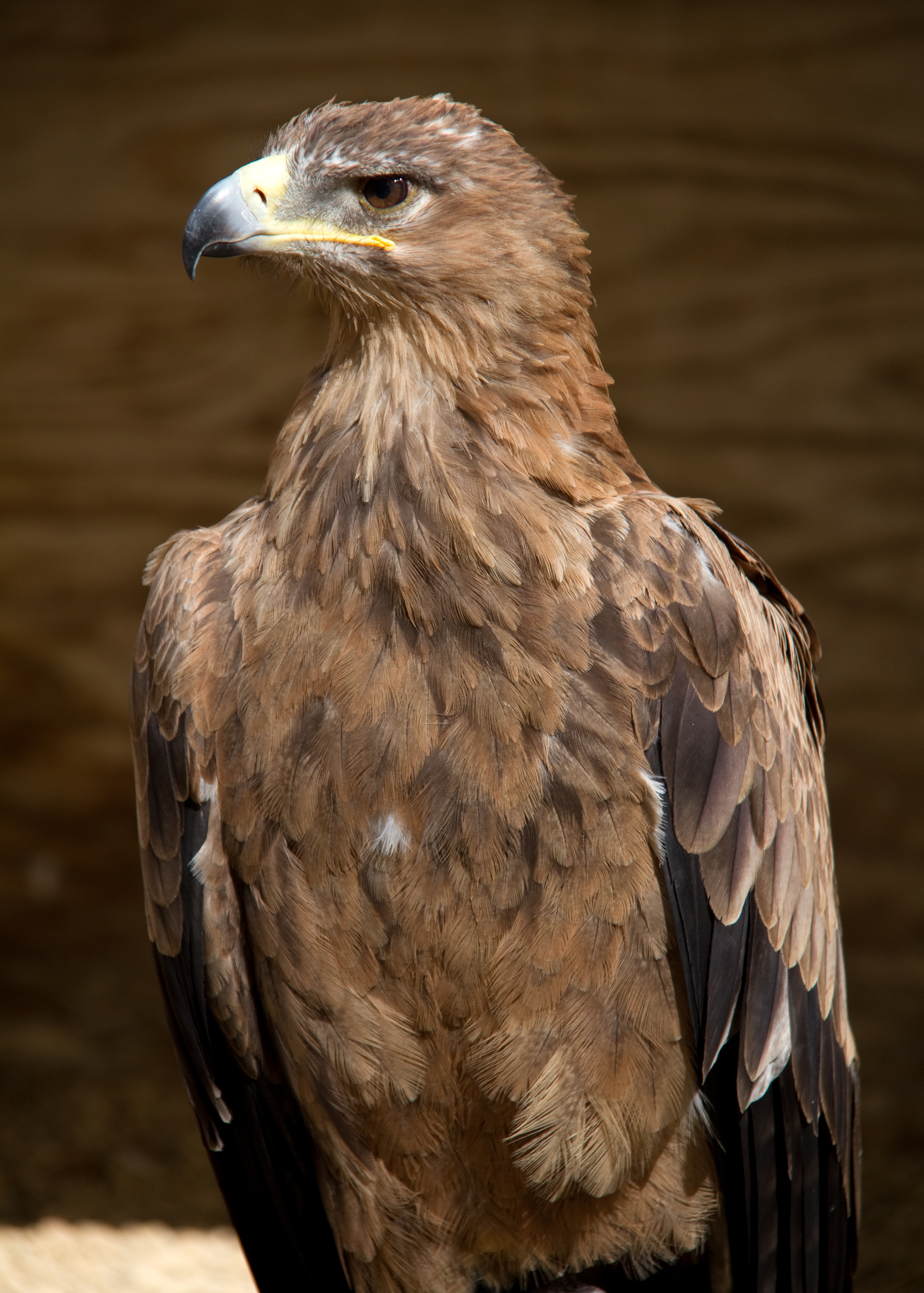 Tawny Eagle svg #4, Download drawings