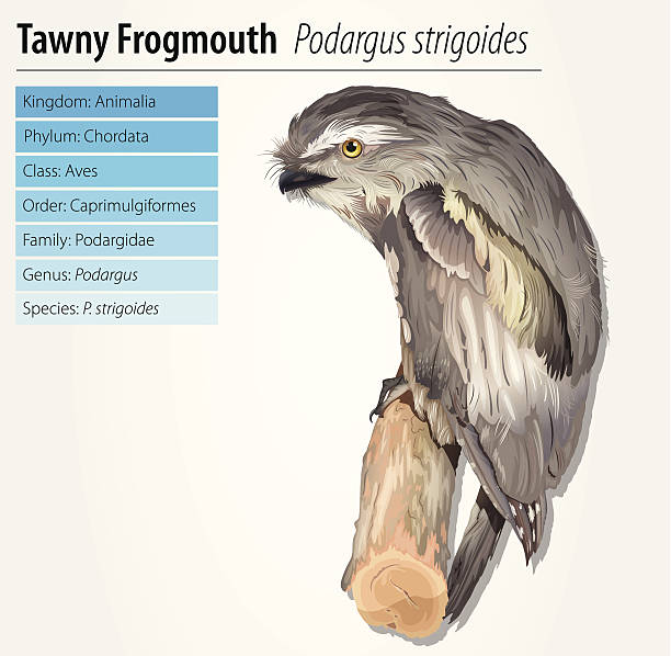 Tawny Frogmouth clipart #16, Download drawings