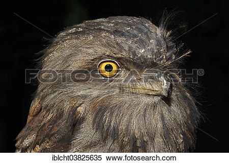 Tawny Frogmouth clipart #12, Download drawings