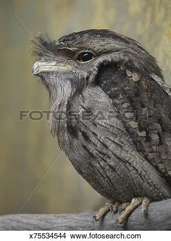 Tawny Frogmouth clipart #10, Download drawings