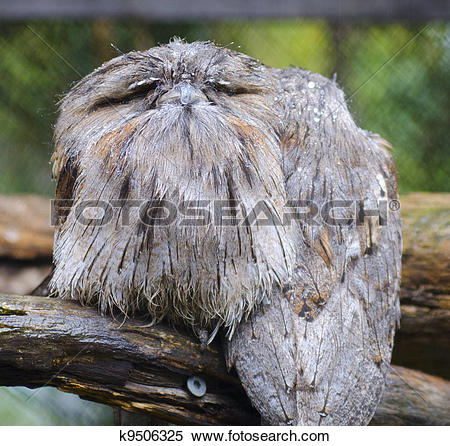 Tawny Frogmouth clipart #5, Download drawings
