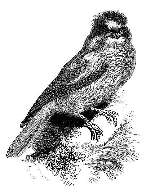 Tawny Frogmouth clipart #11, Download drawings