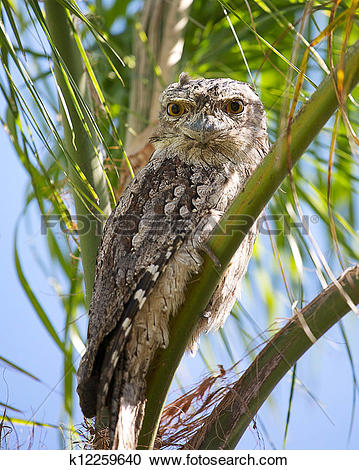 Tawny Frogmouth clipart #7, Download drawings
