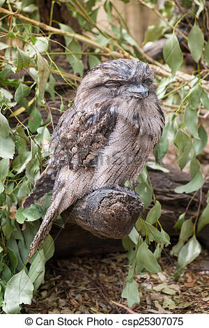 Tawny Frogmouth clipart #6, Download drawings