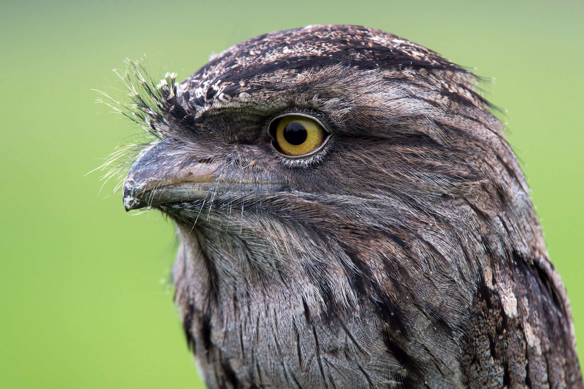 Tawny Frogmouth clipart #1, Download drawings