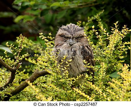 Tawny Frogmouth clipart #3, Download drawings