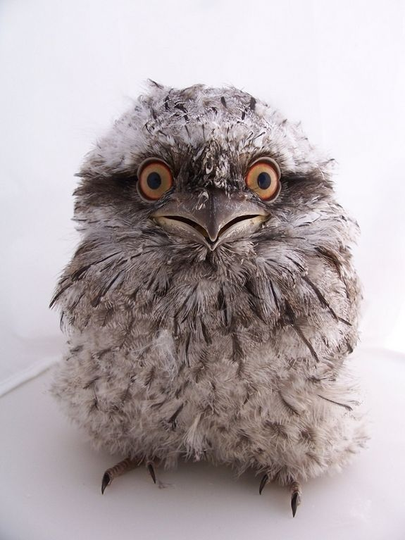 Tawny Frogmouth clipart #4, Download drawings