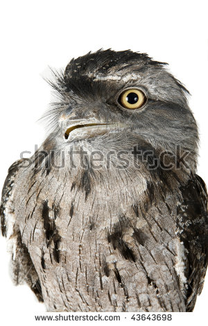 Tawny Frogmouth clipart #17, Download drawings