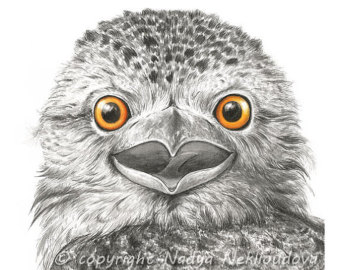 Tawny Frogmouth clipart #20, Download drawings