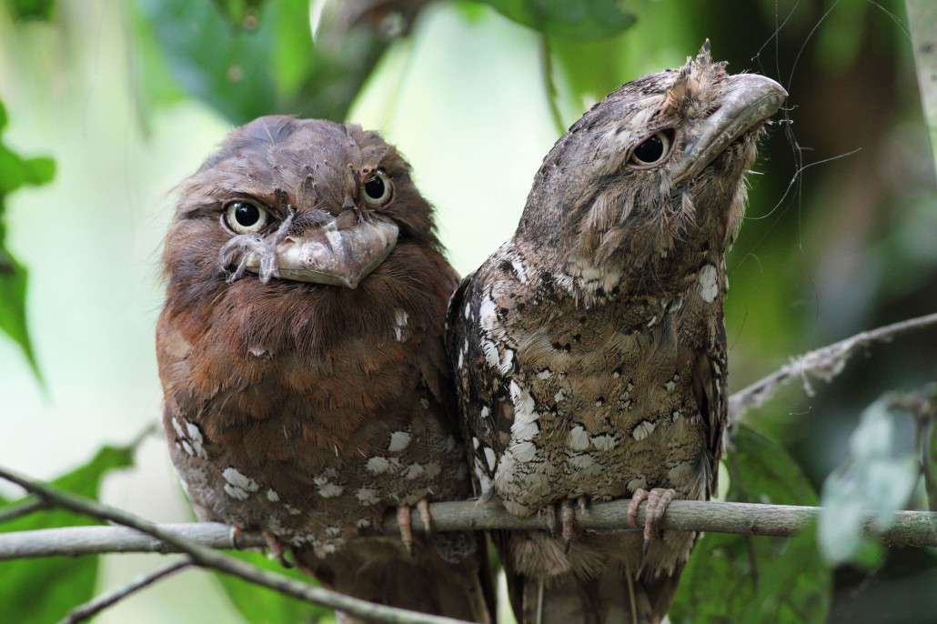 Tawny Frogmouth clipart #2, Download drawings