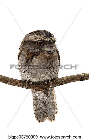 Tawny Frogmouth clipart #14, Download drawings