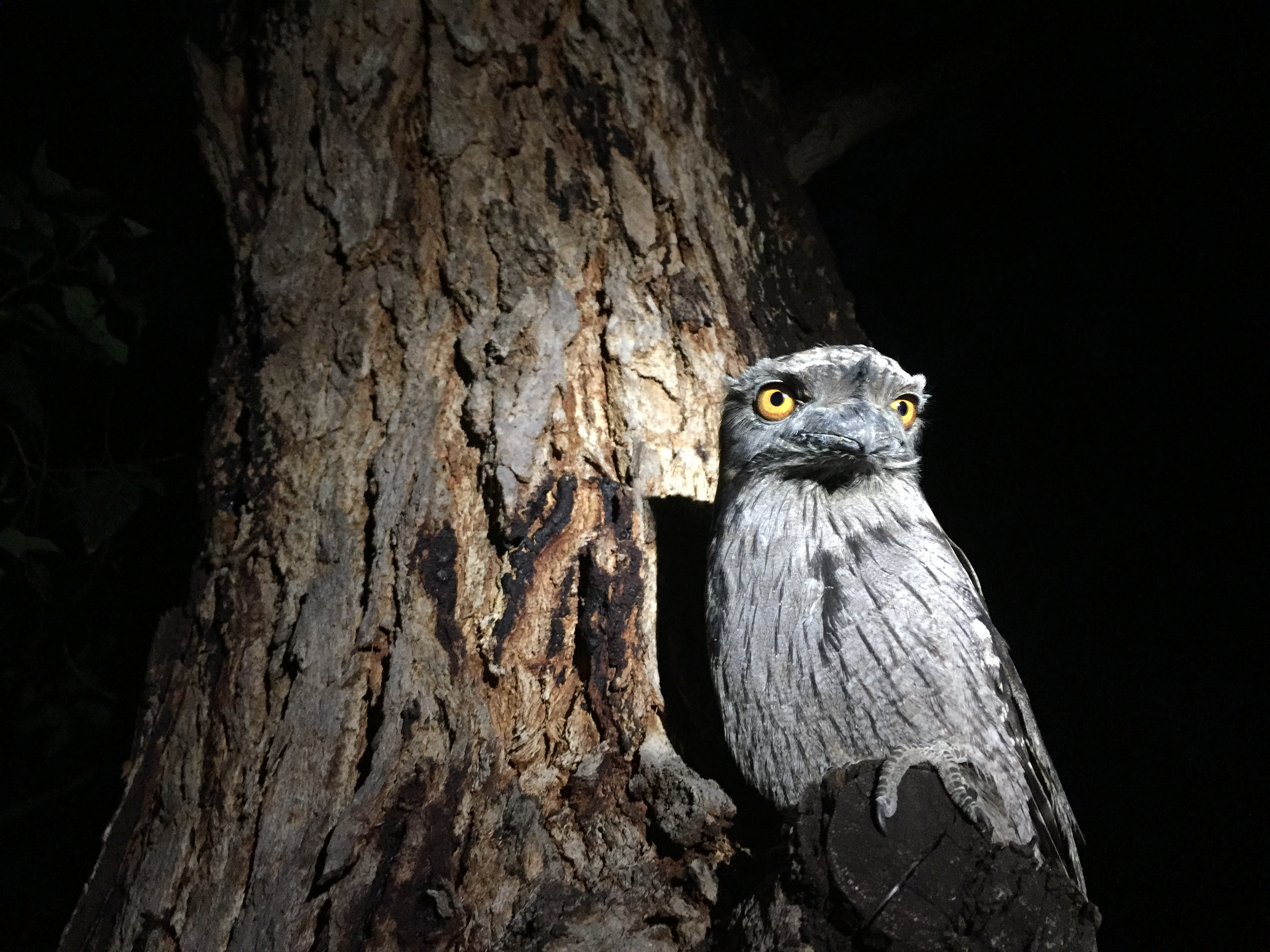 Tawny Frogmouth svg #1, Download drawings