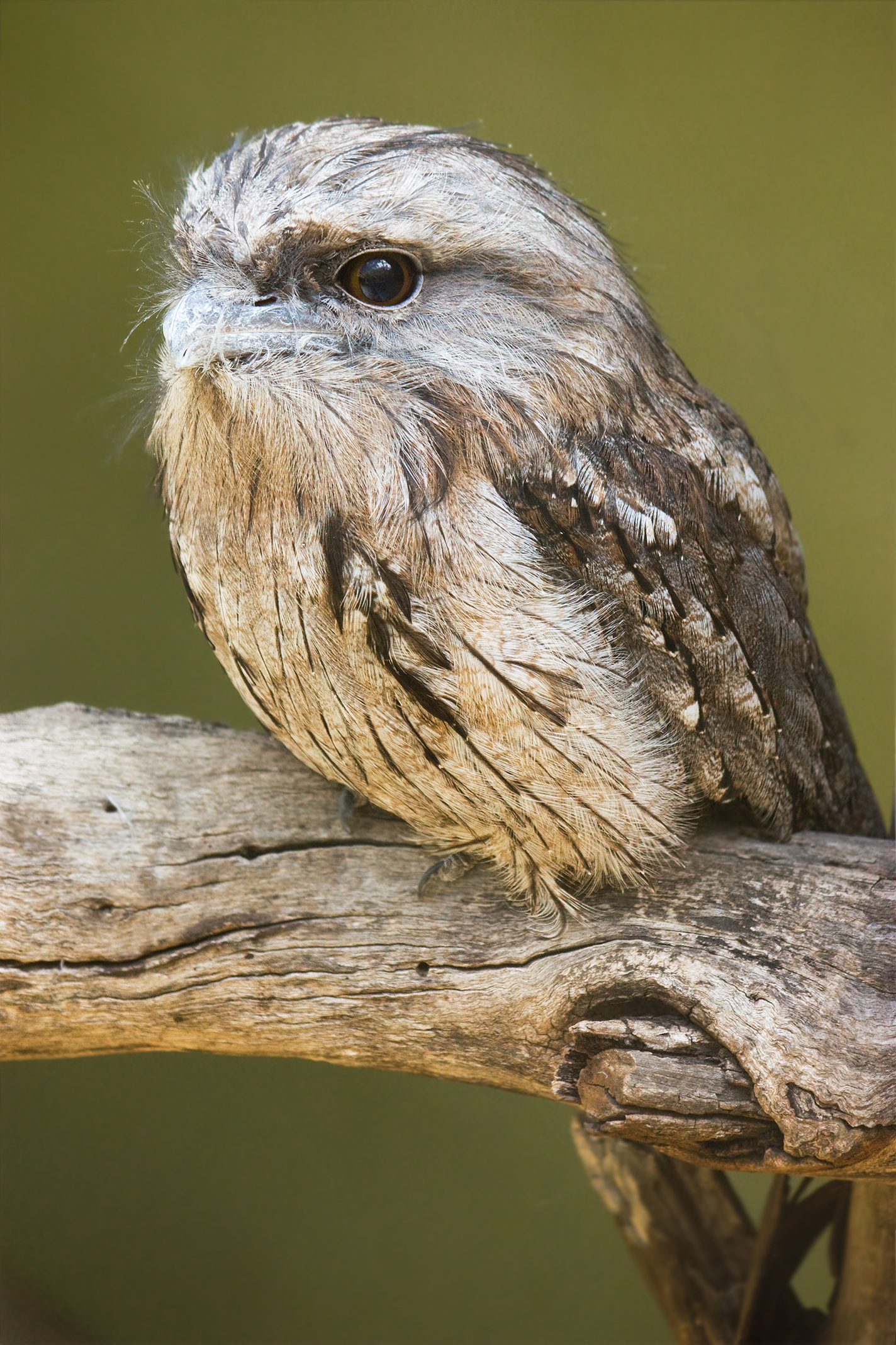 Tawny Frogmouth svg #12, Download drawings