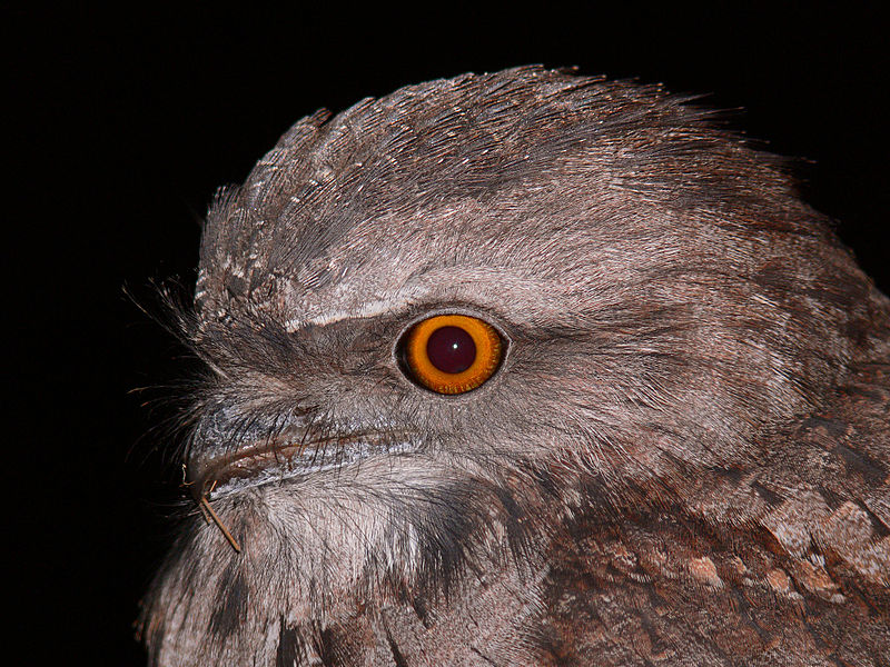 Tawny Frogmouth svg #16, Download drawings