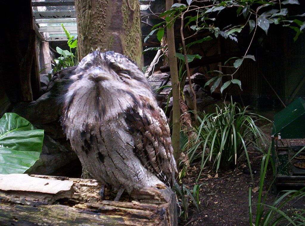 Tawny Frogmouth svg #7, Download drawings