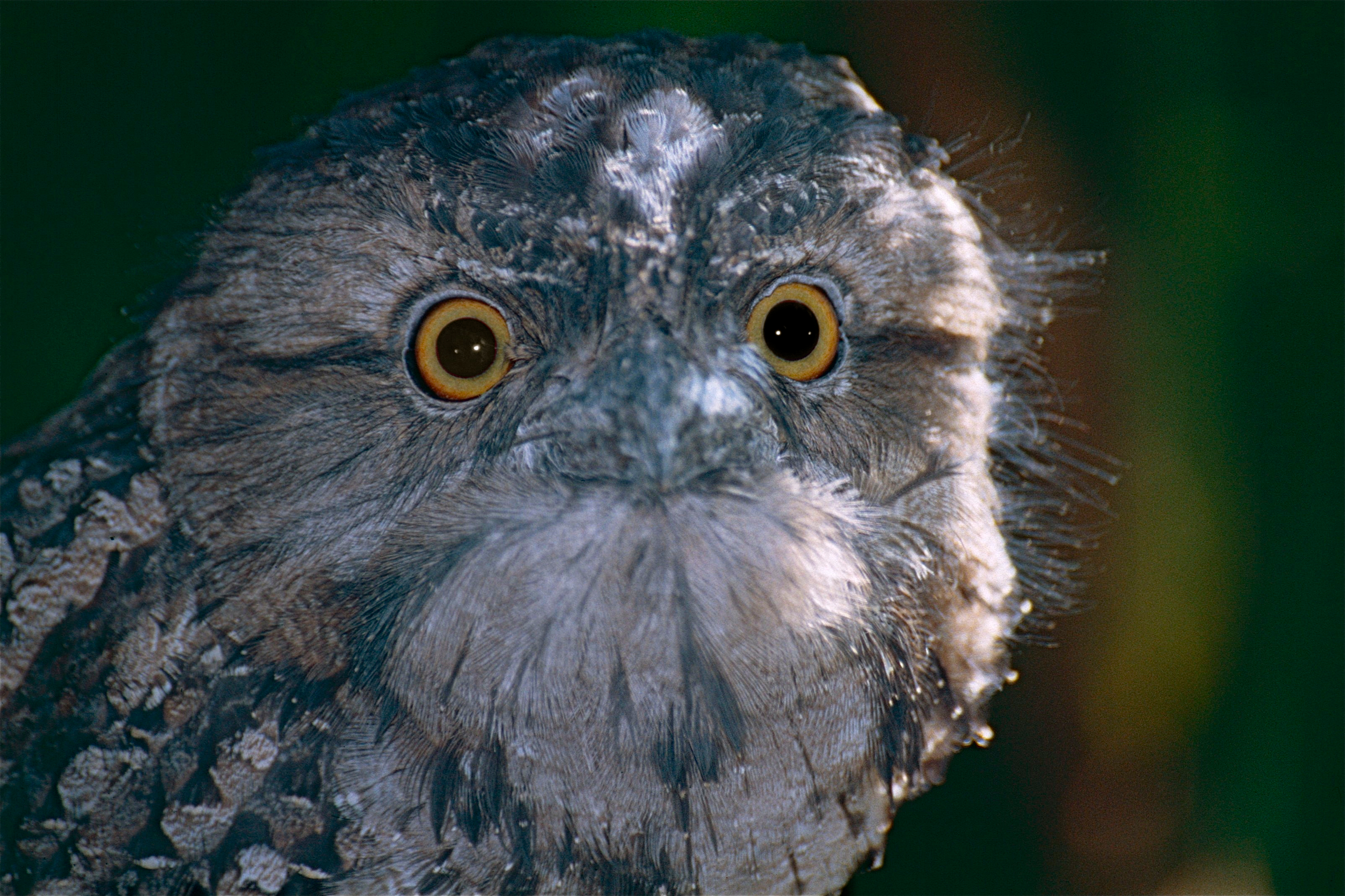 Tawny Frogmouth svg #3, Download drawings