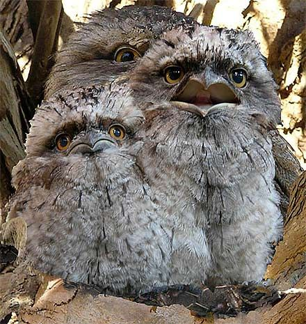Tawny Frogmouth svg #17, Download drawings