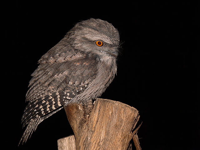 Tawny Frogmouth svg #18, Download drawings