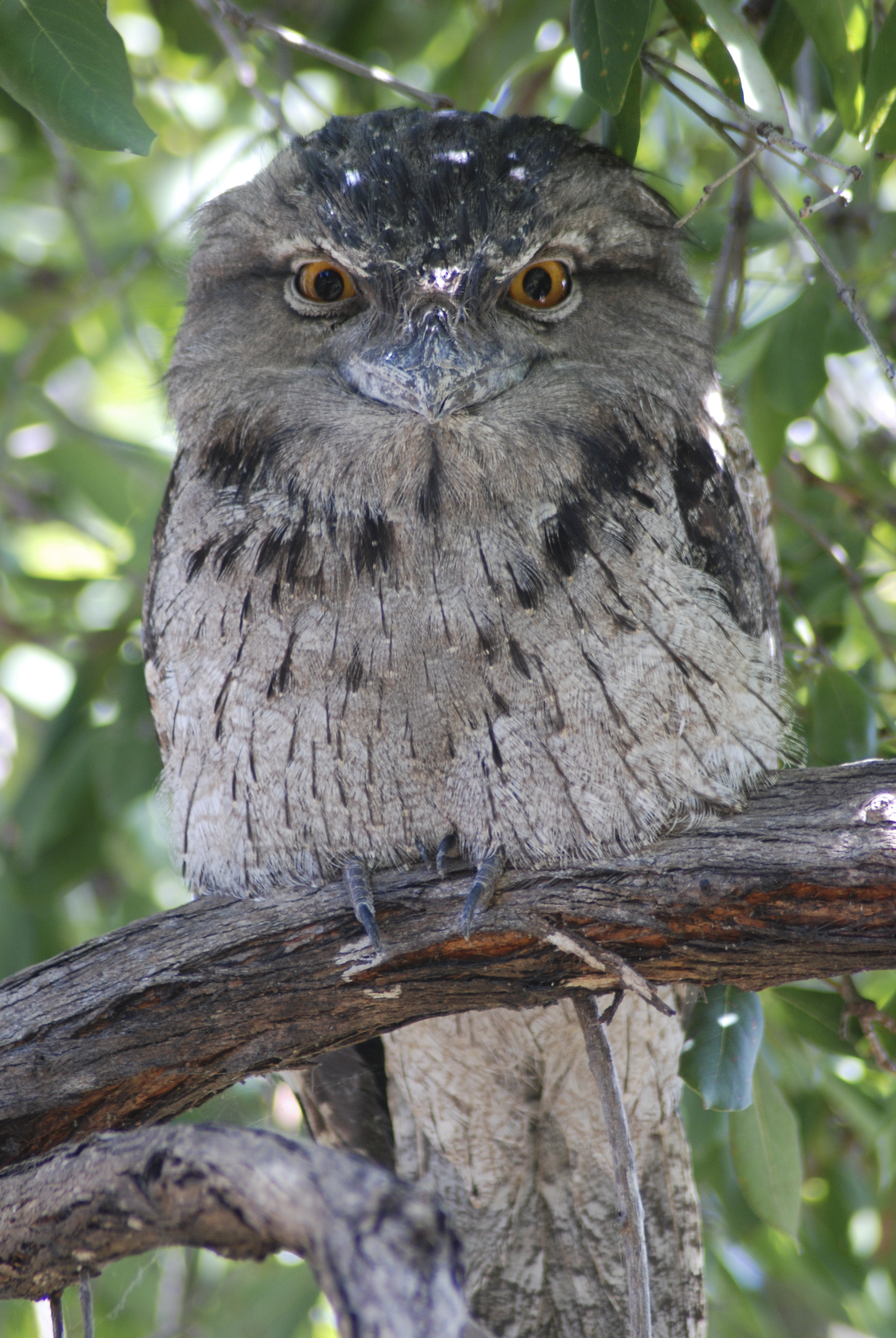 Tawny Frogmouth svg #11, Download drawings