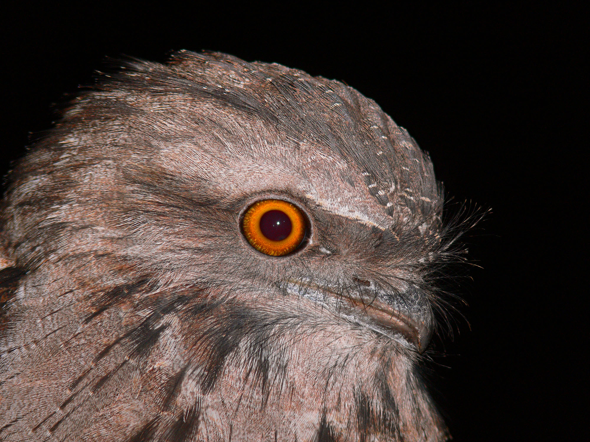 Tawny Frogmouth svg #14, Download drawings