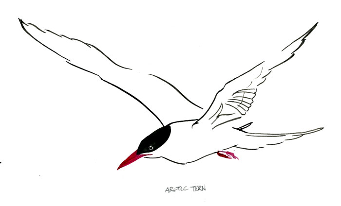 Tern clipart #8, Download drawings