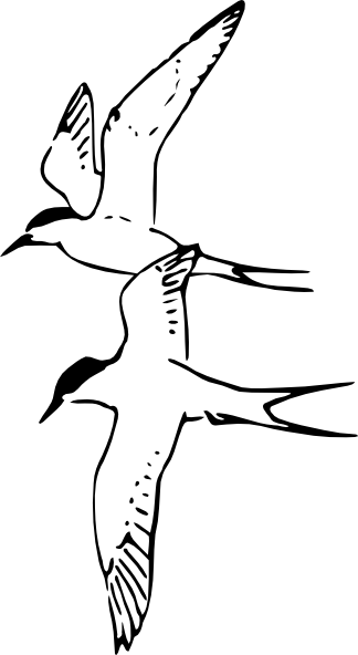 Terns clipart #18, Download drawings