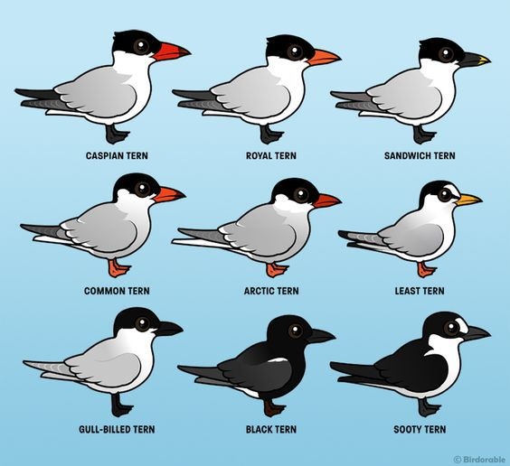 Terns clipart #5, Download drawings