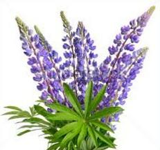 Texas Bluebonnets clipart #7, Download drawings