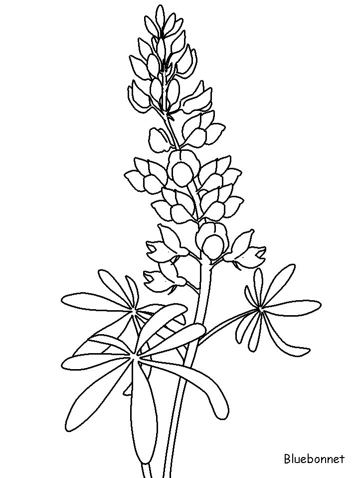 Texas Bluebonnets clipart #17, Download drawings