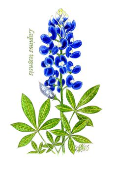 Texas Bluebonnets clipart #1, Download drawings