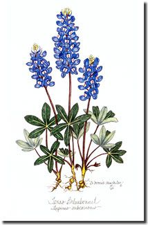 Texas Bluebonnets clipart #12, Download drawings