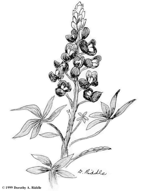 Texas Bluebonnets coloring #10, Download drawings