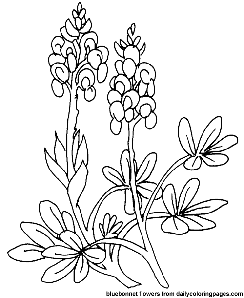 Texas Bluebonnets coloring #16, Download drawings