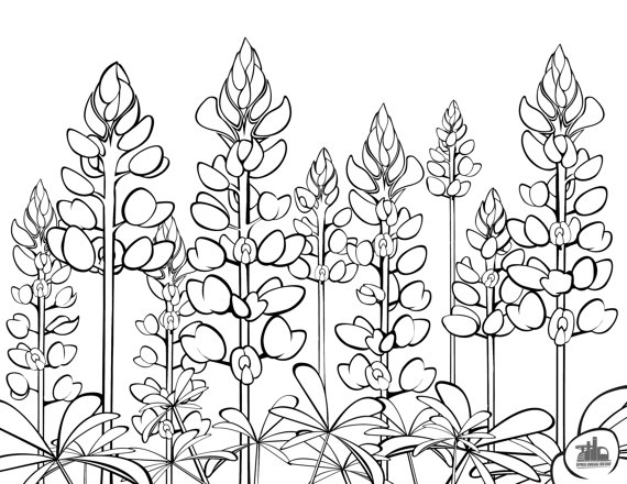 Texas Bluebonnets coloring #15, Download drawings