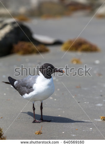 The Black Headed Laughing Gull clipart #20, Download drawings
