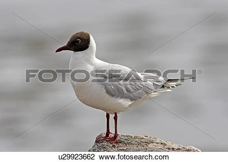 The Black Headed Laughing Gull clipart #11, Download drawings
