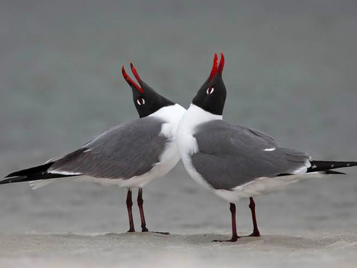 The Black Headed Laughing Gull clipart #7, Download drawings
