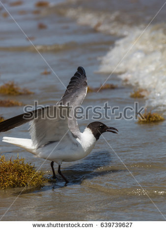 The Black Headed Laughing Gull clipart #12, Download drawings