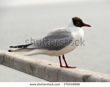 The Black Headed Laughing Gull clipart #8, Download drawings