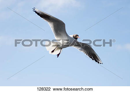 The Black Headed Laughing Gull clipart #10, Download drawings
