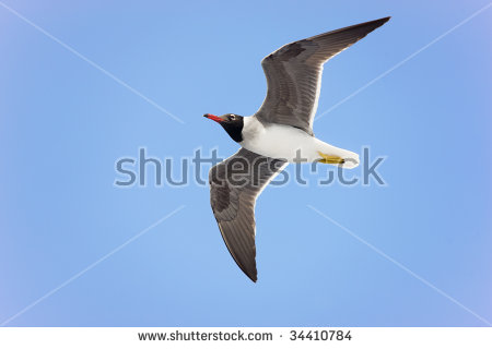 The Black Headed Laughing Gull clipart #3, Download drawings