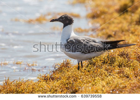 The Black Headed Laughing Gull clipart #9, Download drawings